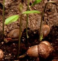 Auswicklung, hier aus dem Samen